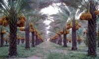 Penjelasan VOV tentang Kurma - satu  jenis buah kering impor yang populer dan digemari  di Vietnam pada Hari Raya Tet