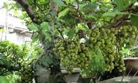 Memperkenalkan pohon ara dan manfaat-nya