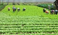 Kaum petani  di Propinsi Lai Chau mencapai kesejahteraan karena memproduksi pertanian spesialis