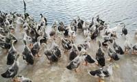 九龙江平原发展海鸭养殖适应气候变化
