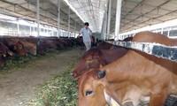 越南与澳大利亚加强肉牛和奶牛饲养合作