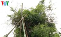 哈尼族人过雨季节的游戏——荡秋千