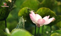 Lotus flowers dazzle visitors in summer