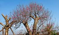 Kumquat, peach blossom market heats up ahead of Tet