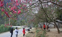 Dong Van stone plateau hosts peach blossom festival
