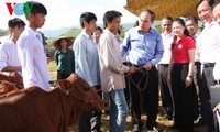 Sơn La: 100 hộ nghèo được nhận bò giúp thoát nghèo