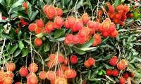 Lần đầu tiên xuất khẩu chôm chôm Việt Nam sang New Zealand