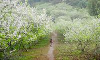 Các vận động viên quốc tế sẽ chạy qua những thung lũng hoa đang nở rộ trên cao nguyên Mộc Châu