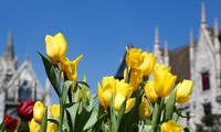 One million tulip flowers shine in Ba Na Hills