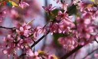 Breathtaking scenery of prunus cerasoides in Mu Cang Chai