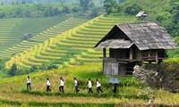 Arroz en terrazas, reliquia nacional de Vietnam