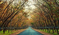 Plantaciones de caucho, patrimonio natural de Gia Lai