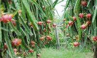 Australia importará pitaya fresca de Vietnam