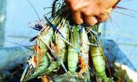 Delta del Mekong diversifica modelos de cría de camarones para adaptarse al cambio del clima