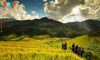 Arrozales en terrazas del norte de Vietnam en período de madurez