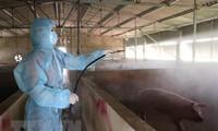 Vietnam capaz de producir una vacuna contra la peste porcina africana