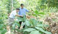 Plantas medicinales, fuente de ingresos de la etnia Dao en Quang Ninh
