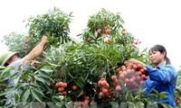 Lichis traen grandes beneficios a los cultivadores de Bac Giang en 2019