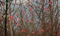Peach blossoms bloom early before Tet