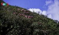 Hoa Đỗ quyên khoe sắc rực rỡ giữa núi rừng Putaleng