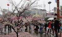 เปิดเทศกาลดอกซากุระ ณ ฮานอย