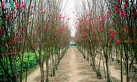 ดอกท้อ เหญิดเติน เอกลักษณ์วสันต์ของกรุงฮานอย