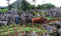 Mong ethnic people cultivate on rocks