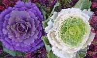 Ngỡ ngàng trước vẻ đẹp của hoa bắp cải