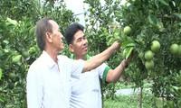 Nông dân huyện Phụng Hiệp, tỉnh Hậu Giang liên kết đưa thương hiệu cam xoàn ra thị trường