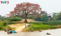 Red silk cotton trees in full bloom in Northwest Vietnam
