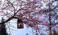 Lễ hội hoa đào trên Cao nguyên đá Đồng Văn