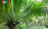 槟椥果园里的椰子树
