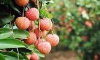 การส่งออกลิ้นจี่และโอกาสให้แก่การส่งออกผลิตภัณฑ์การเกษตรของเวียดนาม