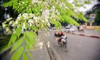 ความสวยงามของดอกประดู่ ในกรุงฮานอย