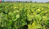 จังหวัดนิงถวนปรับเปลี่ยนโครงสร้างพันธุ์พืชให้สอดคล้องกับสถานการณ์ภัยแล้ง