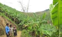 เกษตรกรตำบลหวยลวง จังหวัดลายโจว์หลุดพ้นจากความยากจนด้วยการปลูกกล้วย