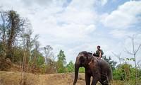 อาชีพคล้องช้างป่าของชนเผ่าต่างๆในเขตเตยเงวียน