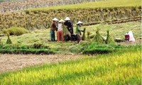 Vietnam will not limit quotas of its rice exports