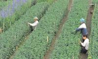 Pueblo de floricultura de Phu Van, listo para el Tet