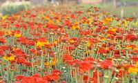 Phu Van desarrolla la plantación de flores asociada con el ecoturismo