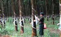 เครือบริษัทยางพาราเวียดนามดำเนินโครงการในลาวและกัมพูชาต่อไป
