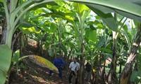 รูปแบบการปลูกกล้วยในอำเภอ เอียนโจว จังหวัดเซินลา ช่วยให้ประชาชนหลุดพ้นจากความยากจน