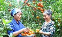 เกษตรกรในอำเภอกาวฟอง จังหวัดหว่าบิ่งสร้างความร่ำรวยจากการปลูกส้ม