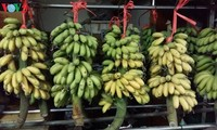 ช๊วยหงึหรือกล้วยไข่ของหมู่บ้านด่ายหว่าง – ผลไม้ที่มีชื่อเสียง
