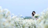 ฤดู กุ๊กหว่ามีหรือดอกเดซี ในกรุงฮานอย
