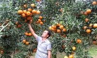 อำเภอกวางบิ่งห์ จังหวัดห่ายาง พัฒนาการปลูกส้มอย่างยั่งยืนตามมาตรฐาน VietGap