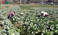 เกษตรกรจังหวัดลายโจว์สร้างความร่ำรวยจากการผลิตเกษตรแบบมืออาชีพ
