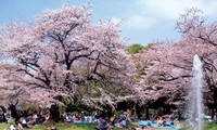 Cherry blossom festival to open in Ha Long city