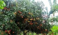 Vàm Xáng fruit garden in Cần Thơ