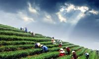 Entdeckung des Teeanbaugebiets Tan Cuong